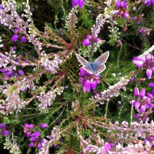 Silver Studded Blue Butterfly on Western Corridor
